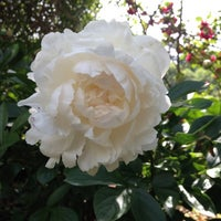Photo taken at Raleigh Rose Garden by Emma T. on 4/26/2012