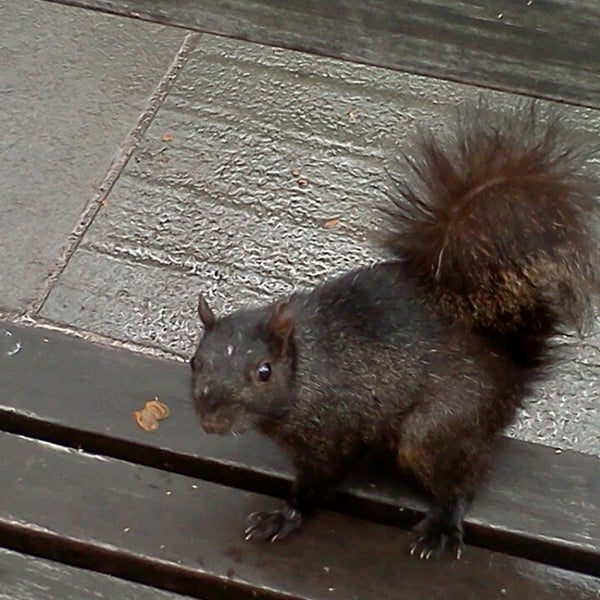 Hold out food and the black squirrels will eat from your hand! (Most adorable way to get rabies ever!!!)