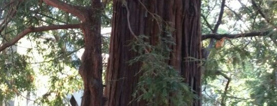 El Palo Alto Redwood Tree is one of All-time favorites in United States.
