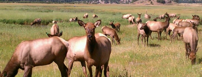 Elk watching is one of Colorado Tourism.