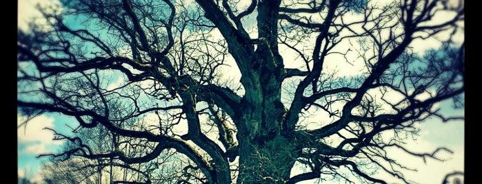 Rīgzemju ozols | Rigzemji oak is one of Skaistākie skati Kurzemes Ziemeļos.