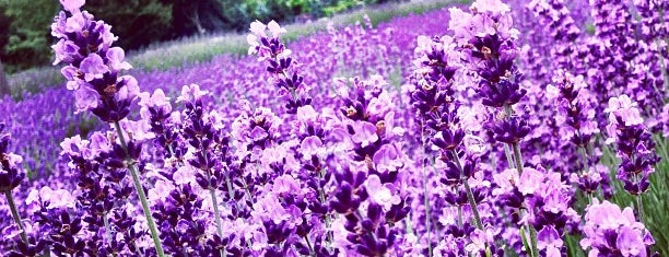 Lavender By the Bay - New York's Premier Lavender Farm is one of Favorite places.