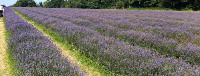 Carshalton Lavender is one of James's Tips.