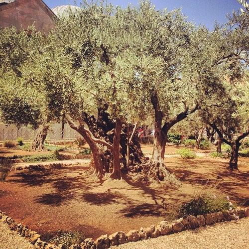 Garden Of Gethsemane / גת שמנים / الجسمانية